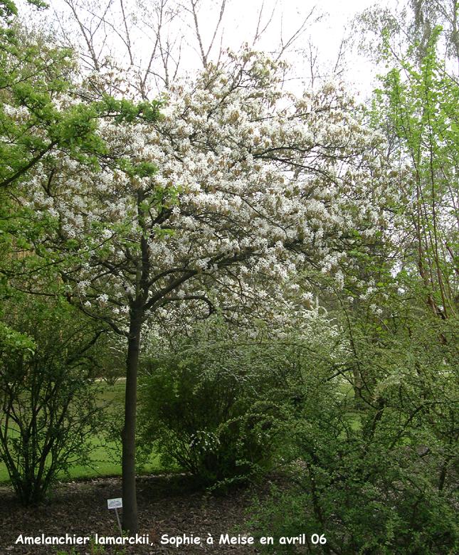 Un delizioso alberello da giardino amel nchier lamarckii - Alberello da giardino ...