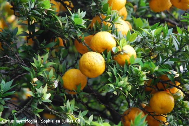 Citrus aurantium 39 myrtifolia 39 for Citrus myrtifolia